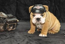 Upcoming and Available Bulldog Puppies for Sale / Our newest litter of bulldog puppies have arrived and we have 3 females available to approved homes. Please feel free to email or call for photos and more information