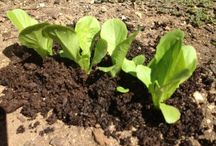 Using Worm Compost / Learn how to use vermicompost (worm Compost) in your garden or lawn