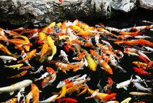 Isn't it good to fall in love with Koi fish!? Starting today you're a KOI LOVER !!