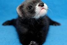 Fuzzy Ferrets! / Many cute, fuzzy, sweet & adorable Ferret pins! / by TanJa Jacobsen