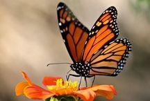 Monarch butterfly's