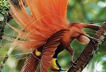 Fauna - птицы -Райские птицы