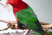 Charmosyna / Il genere charmosyna comprende un gran numero di specie originarie della Nuova Guinea o delle isole circostanti, ben quattordici, tutte di piccola taglia ma dall'aspetto piuttosto vario. La colorazione di base di cinque specie è il verde, di altre quattro specie è il rosso, e le restanti sono a base verde con parti multicolore. La coda appare allungata e l'aspetto selvatico.   http://www.pappagallinelmondo.it/charmosyna.html