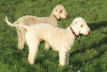 Bedlington Terriers / One of England's oldest terrier breeds.They are great ratters!