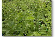 5eglobal Stevia, Hierbas medicinales / La stevia es un pequeño arbusto herbáceo que no suele sobrepasar los 80 cms de alto, de hoja perenne, y de la familia de los crisantemos. Hoy en día la stevia se cultiva de forma intensiva para la fabricación del único edulcorante seguro, natural, y sin riesgos para la salud. Y también para consumirla como planta medicinal por sus propiedades curativas.