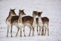 Stags & Deer / Beautiful items displaying beautiful creatures