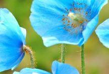 Sinivaleunikot