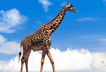 Изысканный бродит жираф...