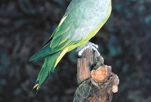 Prioniturus / Il genere prioniturus comprende sei specie di pappagalli del Pacifico, che abitano l'areale compreso tra l'arcipelago delle Filippine e l'isola di Sulawesi. Questi psittacidi sono caratterizzati da una coda molto atipica, dal momento che le due penne timoniere centrali si allungano molto oltre le altre timoniere con l'asse della penna nudo e l'estremità a ciuffo.   http://www.pappagallinelmondo.it/prioniturus.html