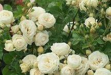 Розы и все отних