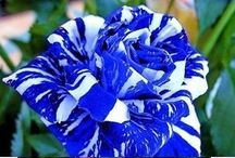 My Garden : Roses