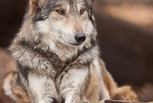 Honden en wolven