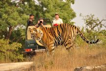 Bandhavgarh National Park - World's Highest Tiger Density / Bandhavgarh National Park  -  Tour packages  Duration 3 N & 4 D – Price INR 16,999/- per couple (Deluxe Room)  SPECIAL  EARLY BIRD PRICE - 11,999/- ONLY  Inclusions - Welcome drink on arrival, Cookies and chocolates  in room on arrival / order, Accommodation in a Deluxe Room / Suite Room for a couple for 3 Nights and 4 days, Breakfast, Lunch and Dinner for entire duration of stay, Nature Walk & Birding trail in the jungle, Thrilling Bush lunch, Romantic candle lit dinner, bonfire arrangement,