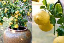 Lemon tree container gardening