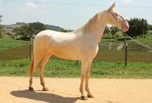 Le Campolina / Le cheval de race Campolina a été développé par Cassiano Campolina, doux son nom, dans une ferme entre Rio de Minas et Minas Gerais au Brésil, où a débuté ses activités en 1857.
