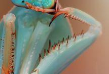 Bugs: Praying Mantis / Different species of Praying Mantis