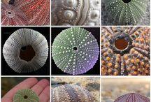 Zeeegelschelp - See Urgan Shell