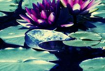 Water Lilies & Lily Pads / Beauty on the surface of your garden pond - water lilies are a classic water garden plant.