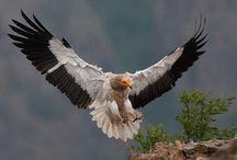 vulture-akbaba