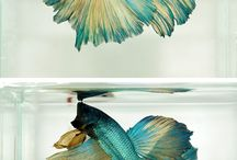 Marco / Fighting fish