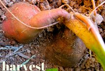 sweet potatoes. planting