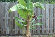 Garden / Banana plant