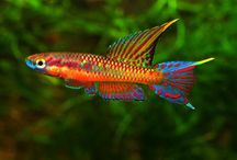 tropical fish freshwater
