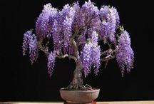 bosai tree