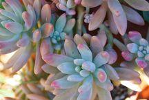 Succulents / My Wish List