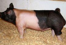 show boars