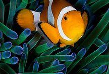 Nemo,bohóchalak