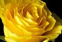Róże / Róże