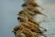 GORRIONES / Sparrows