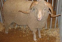 sheep - fine wool