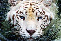 White tigers rock