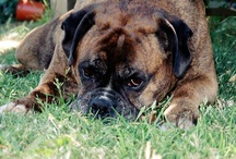 Boxer and Bully Love / by Dottie Dollie