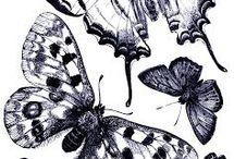• papillon