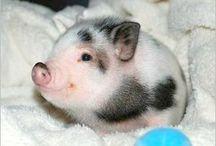 Maialino piggy