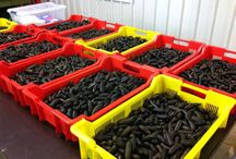 Our Finger Limes / We grow and distribute native Australian Finger Limes.