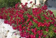 Rosiers pour petits jardins, balcons, terrasses