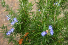 Top Ten Herbs For Your Garden / Best garden worthy herbs to plant (and which ones to buy at the farmstand!)