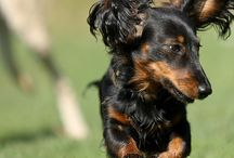 Miniature long-haired Dachshounds close to heart