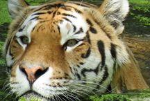 Тигры:)
