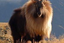 Caprinos/Goats