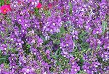 Amazing Annuals / Photos and information about annual plants that fill our gardens with color, texture or fragrance throughout the growing season, but can't tolerate our cold Zone 5 winters.