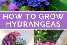 How to Grow Hydrangea