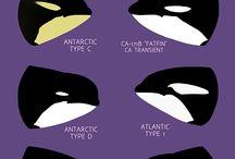 Atlantic Type 1