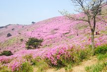 Korean pink mountain