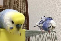 my budgerigar