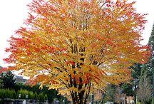 Cercidiphilum japonicum - Katsura tree